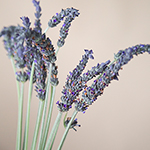 English Lavender Flower Wholesale Bunches