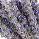 English Lavender Flower up close