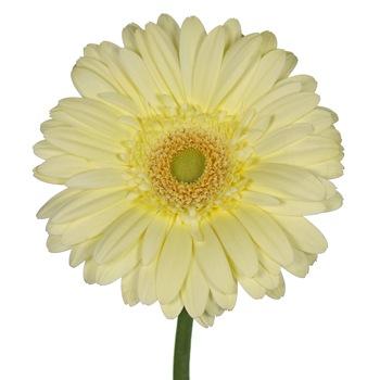 Pale Yellow Gerbera Daisy