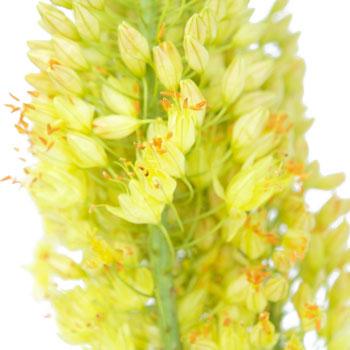 Eremurus Yellow Flower
