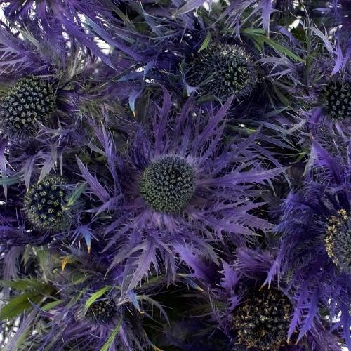 Ursula Purple Thistle