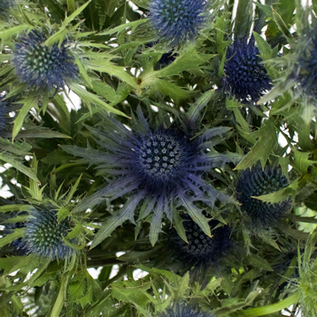 Hint of Blue Thistle