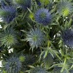 Bulk Thistle Metallic Blue