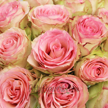 Esperance Creamy Pink Antique Rose