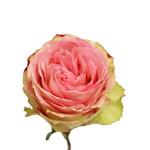 Bicolor Rose Esperance