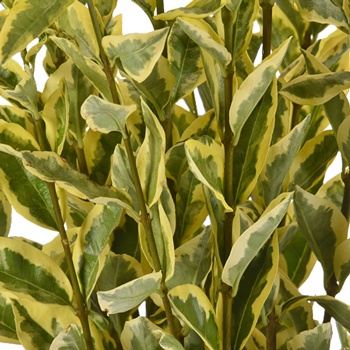 Weddding greenery wholesale euonymus filler flowers sold near me