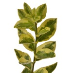 Fresh cut greenery wholesale euonymus filler flowers