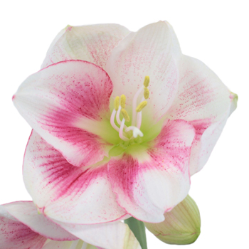 Bicolor Pink Amaryllis Flower