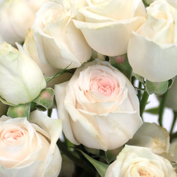 Bridal Blush Spray Rose
