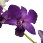Orchid Dendrobium Ezumi Purple
