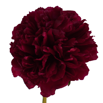 Cranberry Red Peony Flowers June Delivery