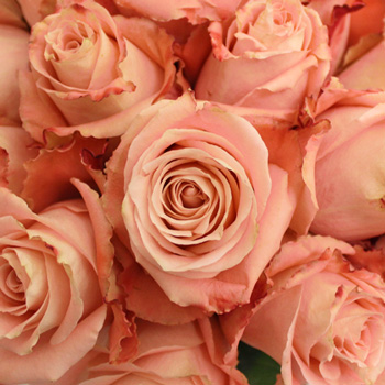 Peachy Pink Fado Rose