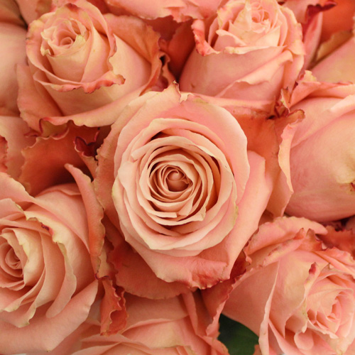 Peachy Pink Fado Rose