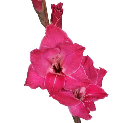 Gladiolus Hot Pink Flower