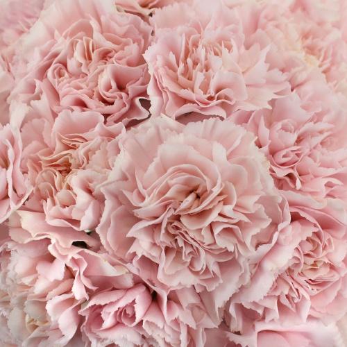 Pink Innocence Carnation Flower