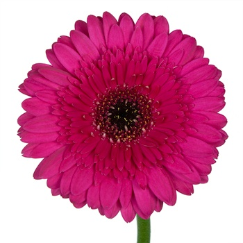 Plumberry Gerbera Daisy Flower