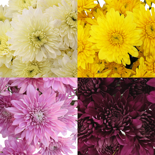 Farm Mix Cushion Bulk Flower