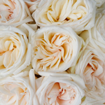 Creamy White Garden Roses up close