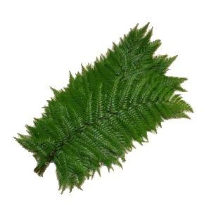 Feather Fern Greens