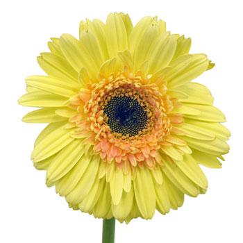 Lemon Zest Gerbera Daisy Flowers