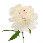 Fiesta White Peony Flowers June Delivery
