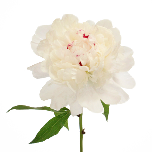 Fiesta White Peony Flower August Delivery