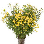 Yellow Fresh Cut Novelty Pom Flower