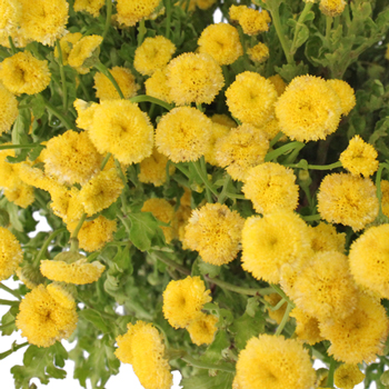 Yellow Button Feverfew - May to October