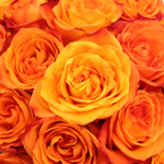 Fiction Sunset Bulk Rose