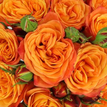 Burning Orange Garden Rose