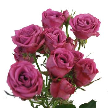 Lavender Mauve Spray Roses