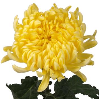Yellow Football Mum Flower