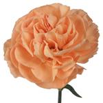 Peach Bulk Carnations flowers
