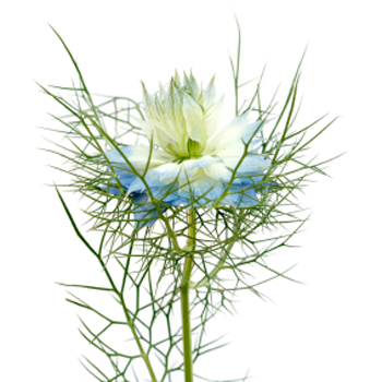 Nigella Baby Blue Flowers