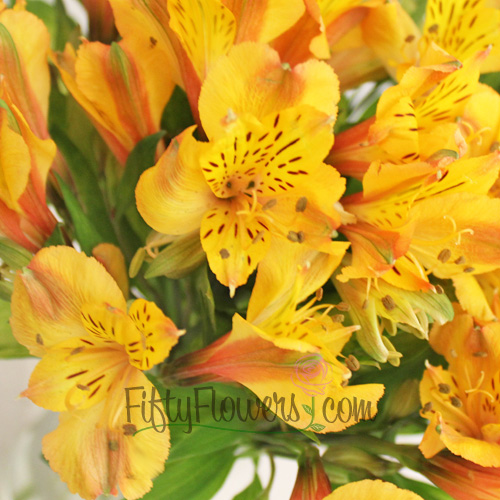 Yellow Peach Peruvian Lilies