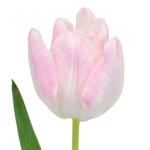 Bulk Blush French Tulip Flowers