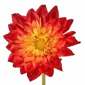 Wildfire Eyes Dahlia Bulk Flower