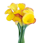 Yellow Mini Calla Lily Tahiti