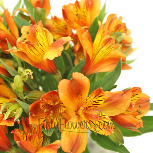 Dark Orange Peruvian Lily Flowers