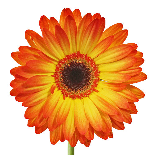 Flaming Bursts of Fire Gerbera Flower