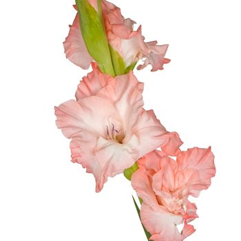 Gladiolus Salmon Pink Flower