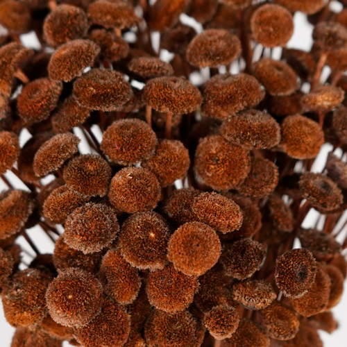 Dried Chocolate Truffle Buttons