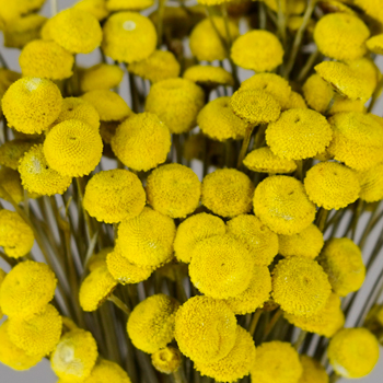 Dried Yellow Floral Buttons