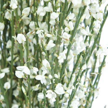 Ginestra White Wedding Flower