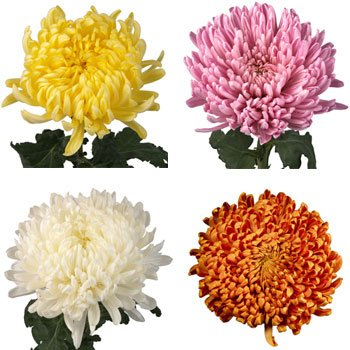 Mother's Day Football Mums Farm Mix Colors