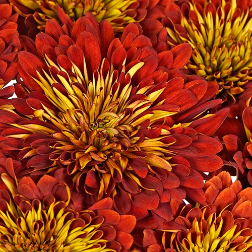 Rosewood Burst Fresh Cut Mum Flower