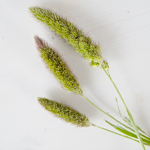 Single stems of fresh cut foxtail millet greens filler flowers sold near me