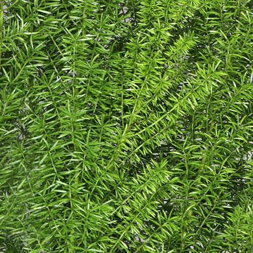 Wedding greenery foxtail filler flower for sale near me