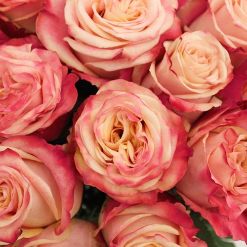 Delicious Cherries and Cream Rose
