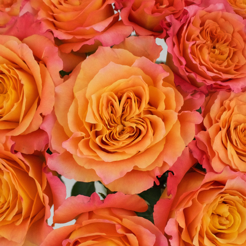 Garden Rose Orange Sherbet